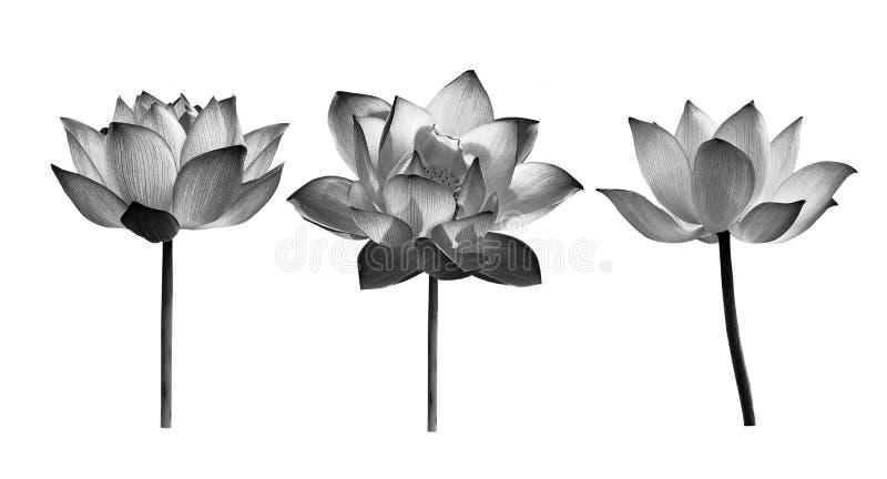 Lotosowy kwiat na białym tle obrazy royalty free