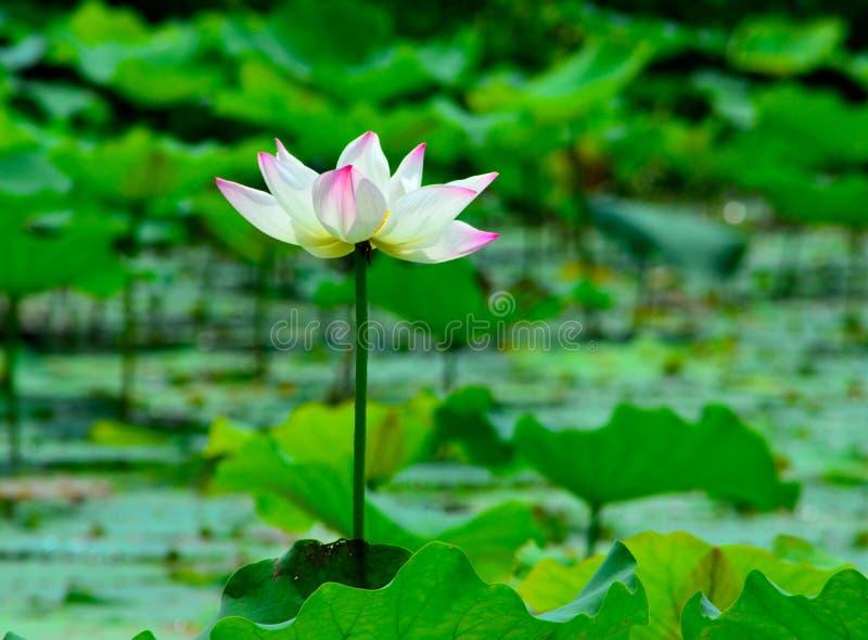 Lotosowy kwiat otwiera wyjawiać obraz stock