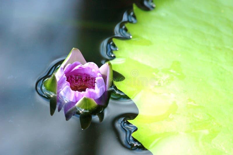 lotosowy kwiat pod wodą zdjęcia stock