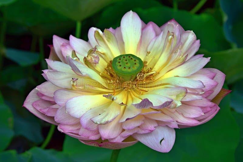 Lotosowy kwiat - symbol boski piękno i czystość zdjęcia stock