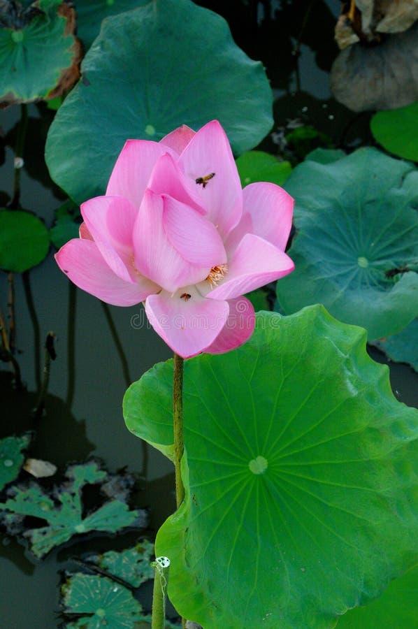 Lotosowy kwiat w jeziorze zdjęcie stock