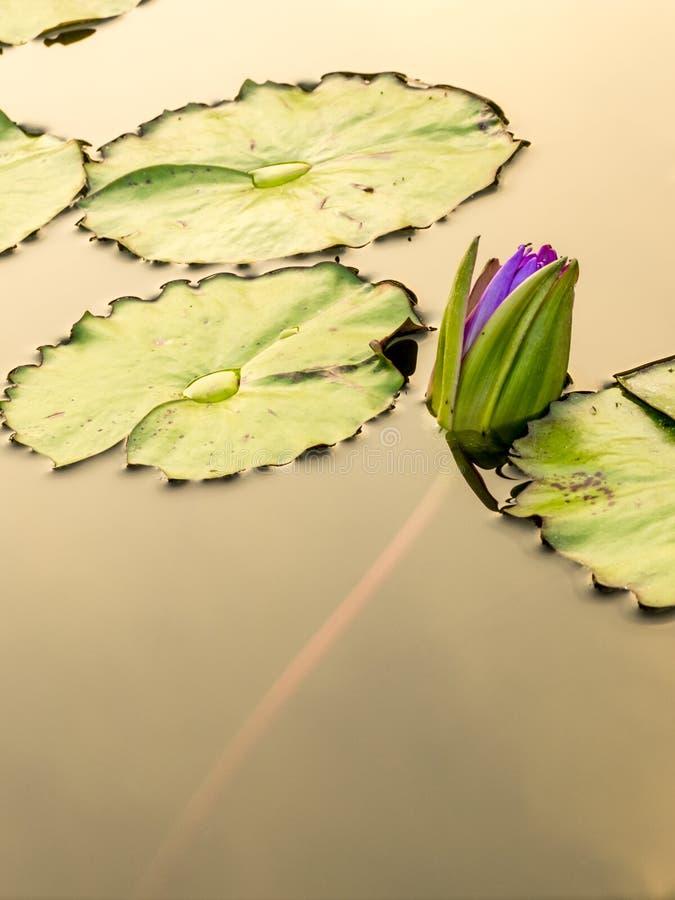 Lotosowy kwiat w miasto stawie zdjęcie stock