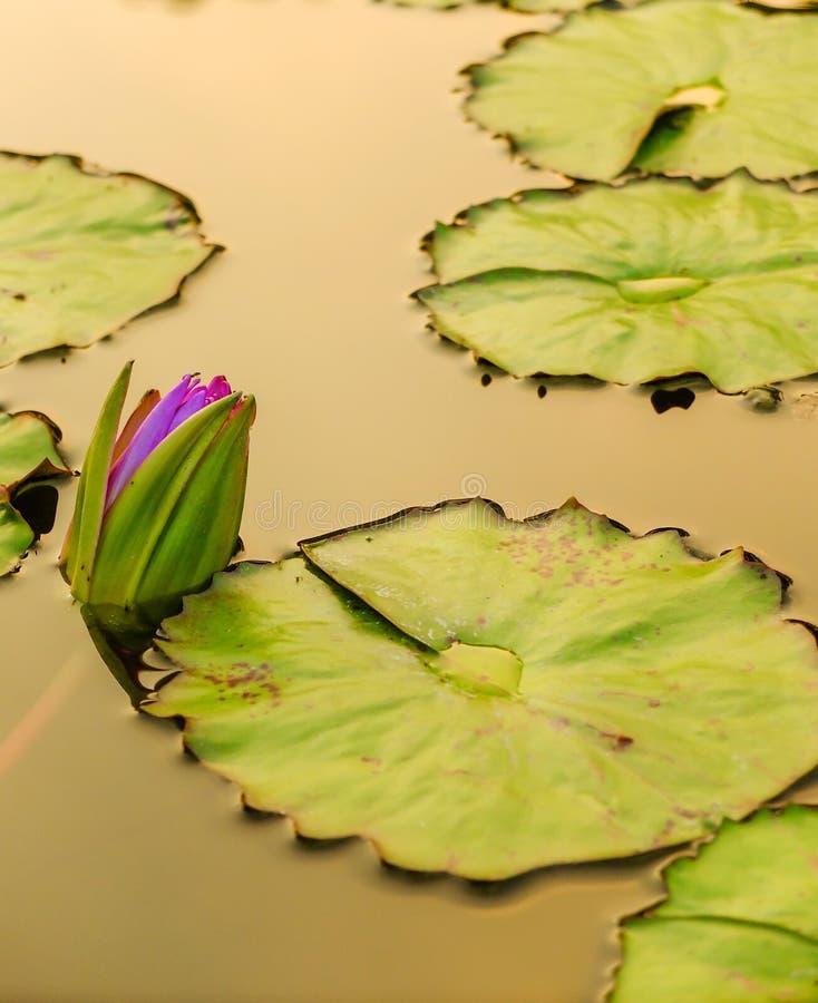 Lotosowy kwiat w miasto stawie zdjęcia stock