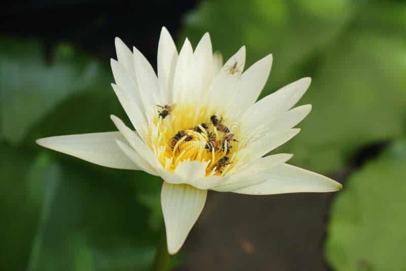 Lotosowy kwiat w stawie, piękny biel waterlily zdjęcia stock
