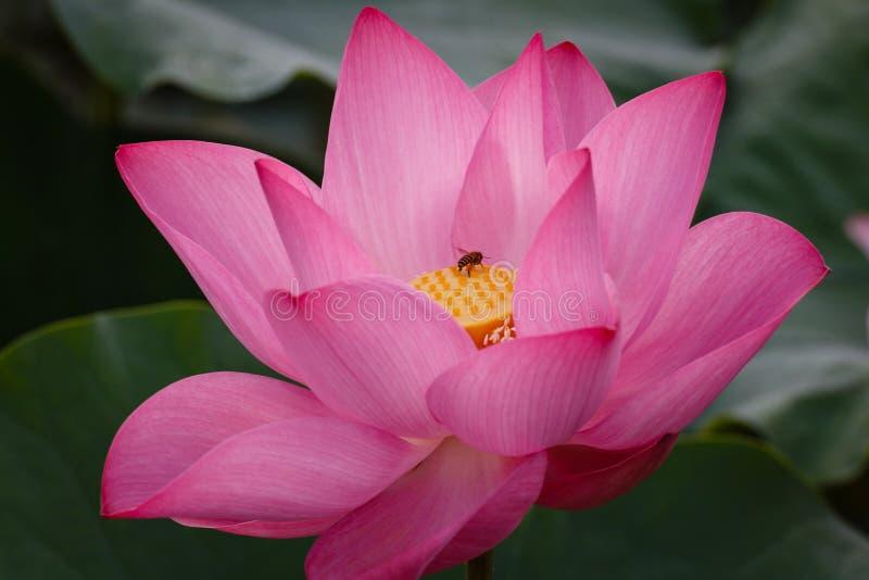 Lotosowy kwiat z pszczołą zdjęcie royalty free