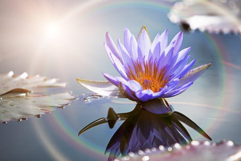 Lotosowy kwiat Z słońce racą fotografia royalty free