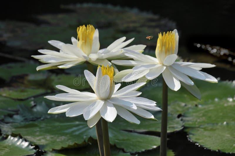 lotosowy kwiatu biel fotografia royalty free
