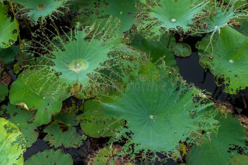 Lotosowy liść nadgryza zdjęcie stock