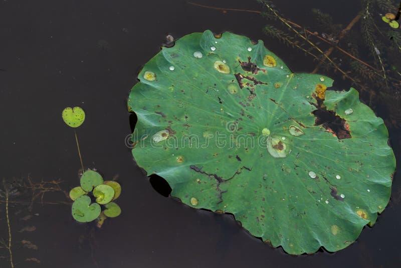 Lotosowy liść nadgryza zdjęcia royalty free