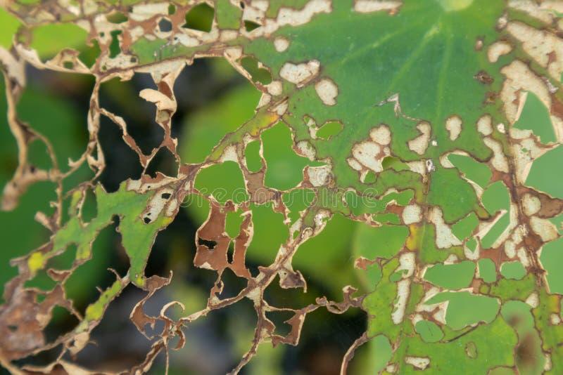 Lotosowy liść nadgryza obraz stock