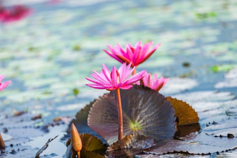Lotosowy okwitnięcie kwiat zdjęcia royalty free