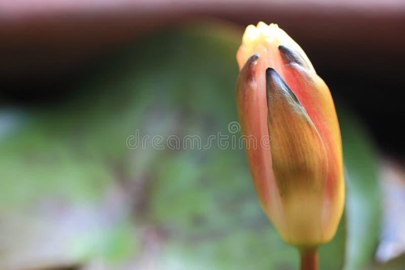 Lotosowy pączek kwitnie w ranku zdjęcia royalty free