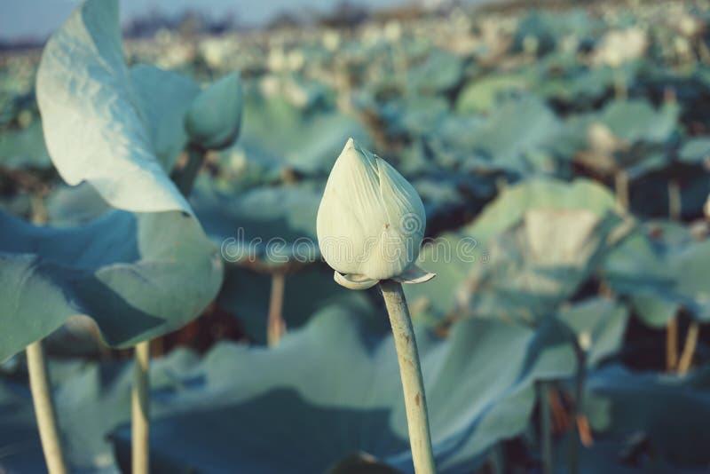 Lotosowy pączek wśród lotosowego liścia obraz royalty free