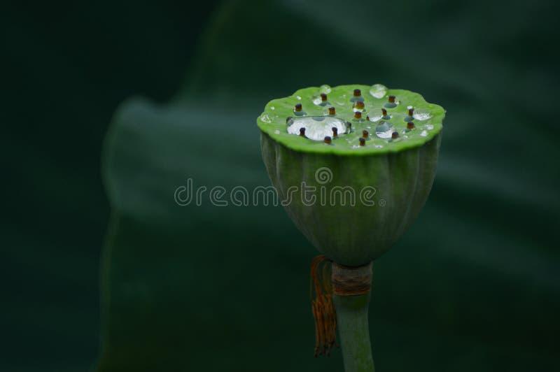 Lotosowy strąk z wodą fotografia stock