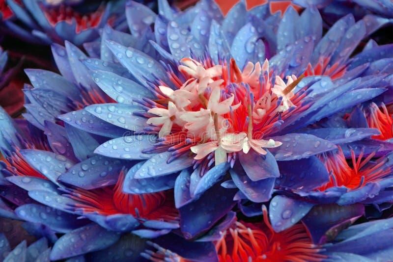 Lotosowych kwiatów zakończenie z rosa kroplami nierealistyczny kwiecisty błękitny tło fotografia royalty free