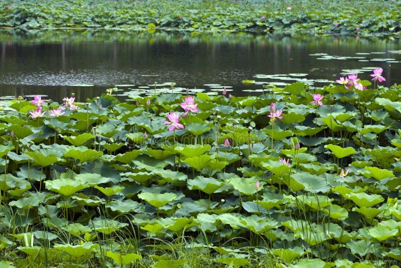 lotosu basen obraz royalty free