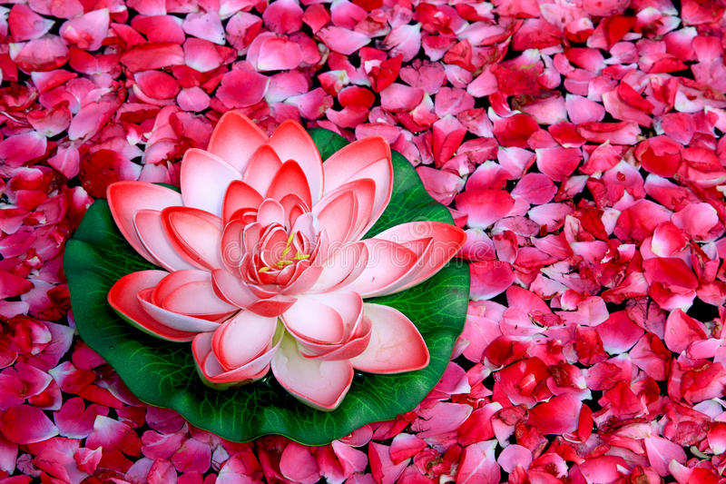 Lotosu kwiat obraz royalty free