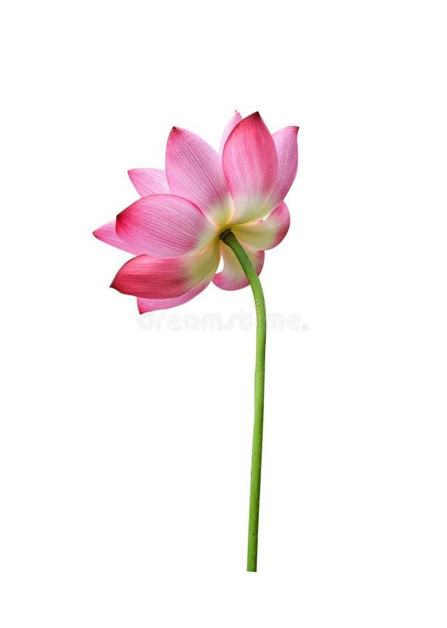 Lotosu kwiat odizolowywaj?cy na bia?y tle zdjęcie royalty free