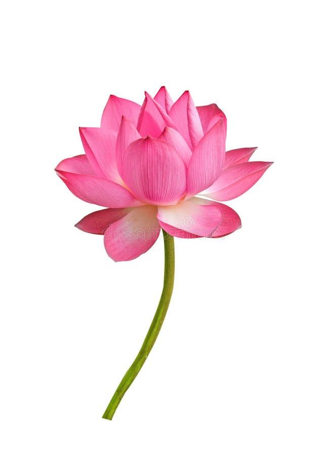 Lotosu kwiat odizolowywaj?cy na bia?y tle fotografia royalty free