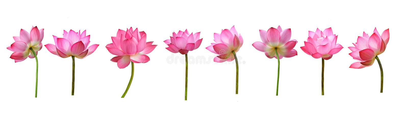 Lotosu kwiat odizolowywaj?cy na bia?y tle obrazy stock