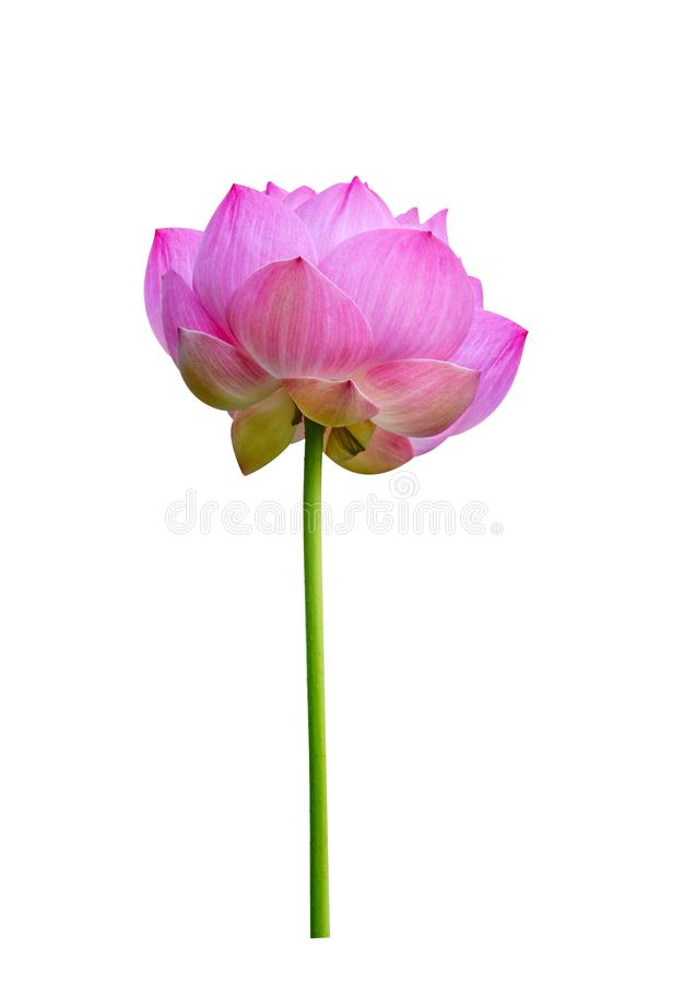 Lotosu kwiat odizolowywaj?cy na bia?y tle obraz royalty free