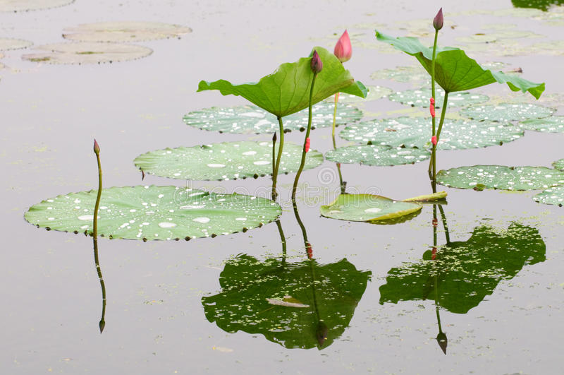 Lotosu liść pączek i zdjęcia royalty free