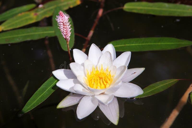 Lotosu piękny Biały Kwiat zdjęcia stock
