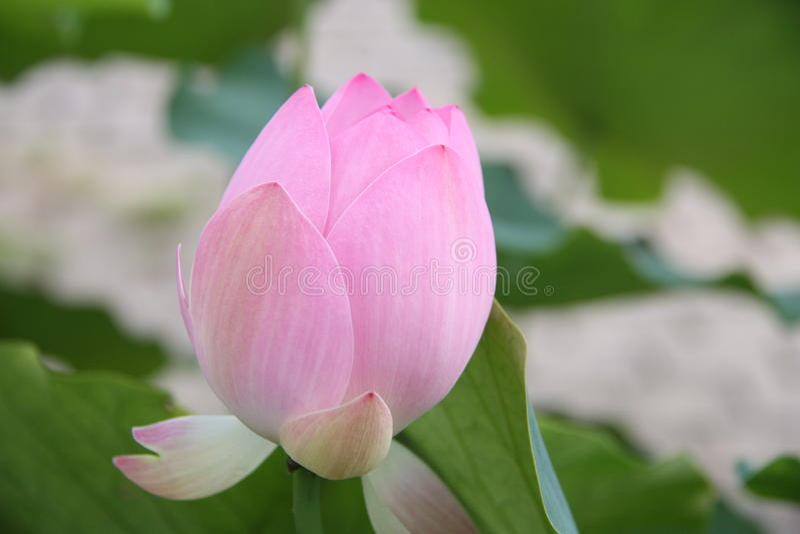 lotosy, kwiat, menchia, leluja, woda, natura, lotos zakorzeniają, zdjęcie royalty free