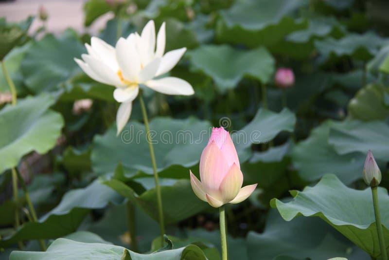 lotosy, kwiat, menchia, leluja, woda, natura, lotos zakorzeniają, fotografia royalty free