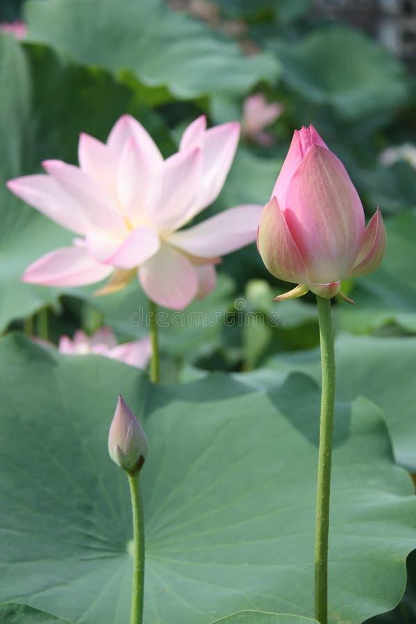 lotosy, kwiat, menchia, leluja, woda, natura, lotos zakorzeniają, zdjęcia stock