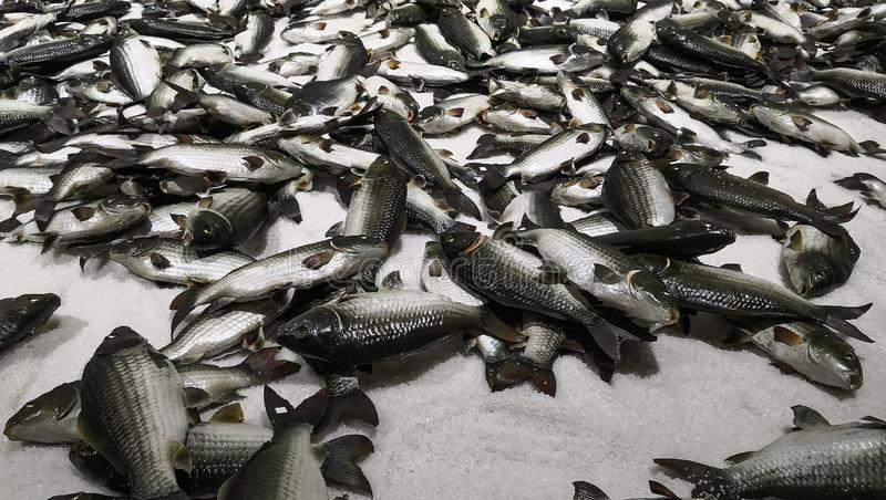 Lots of artificial fish on artificial ice. Museum in china stock photography