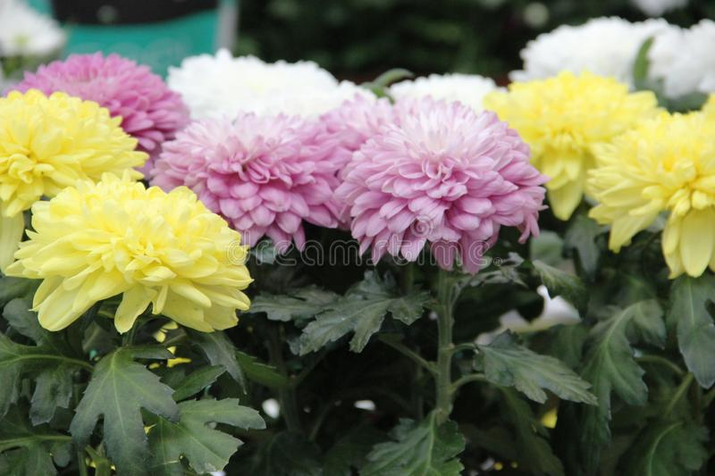 lots Aster flowers yellow, pink and white color. Variety of choice of flowering asters in the store for the garden stock images