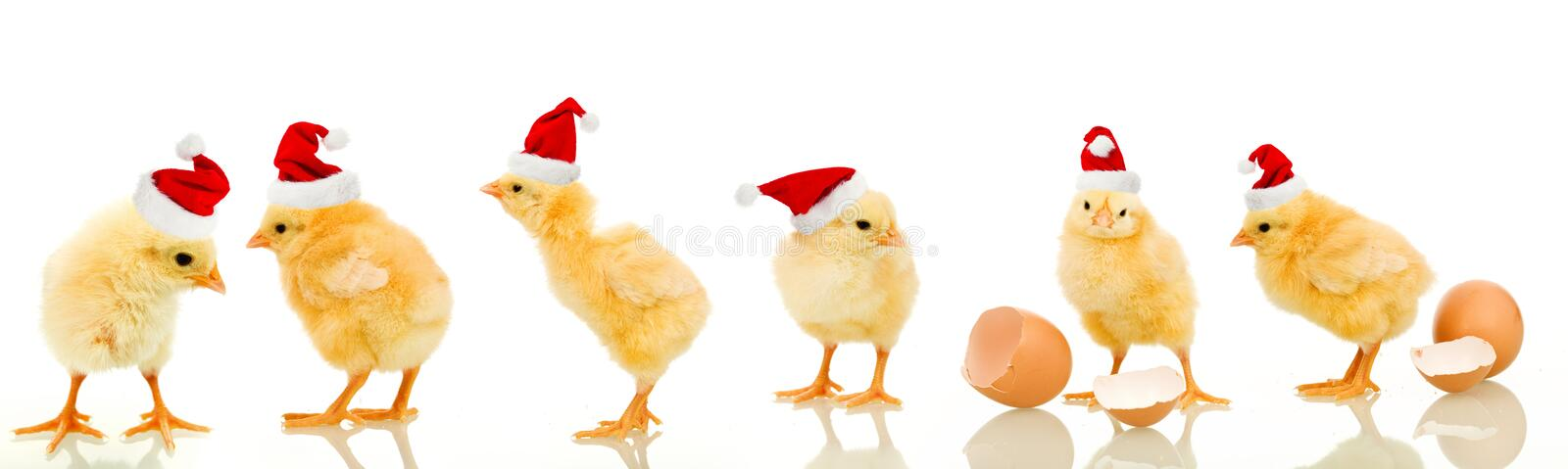 Lots of baby chicken at christmas time. Lots of baby chicken at christmas wearing santa claus hats - with reflection stock image