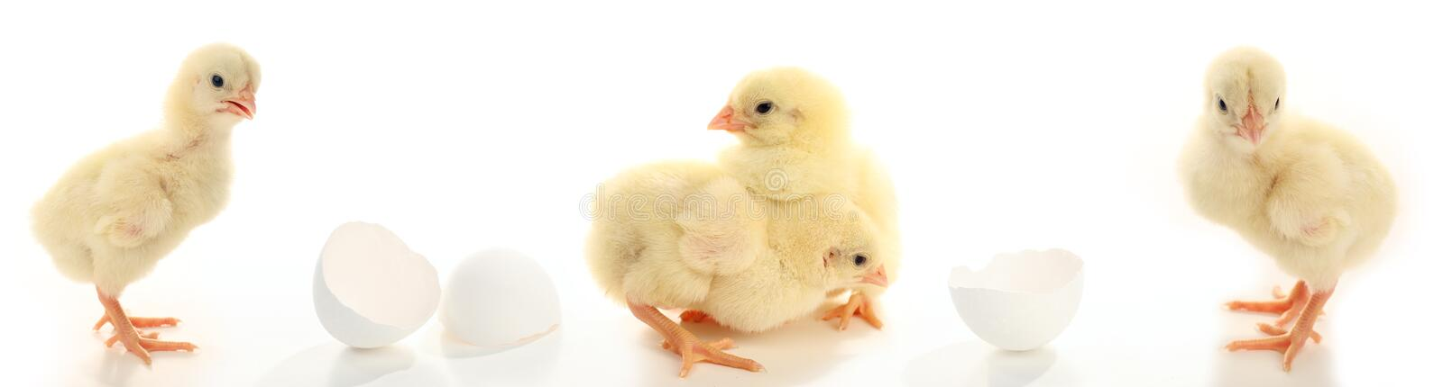 Lots of Baby chickens stock images