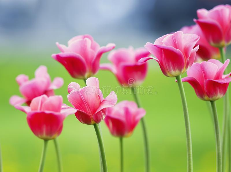 lots of beautiful bright pink flowers and buds of a Tulip blooming in the spring in the may Park stock photography