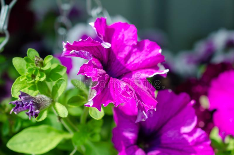 Lots of bright pink purple flowers in green bush royalty free stock photo