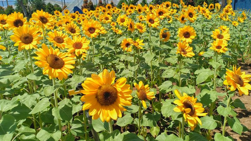 Lots of bright sunflowers in a beautifully arranged garden. With the best quality and resolution stock photos