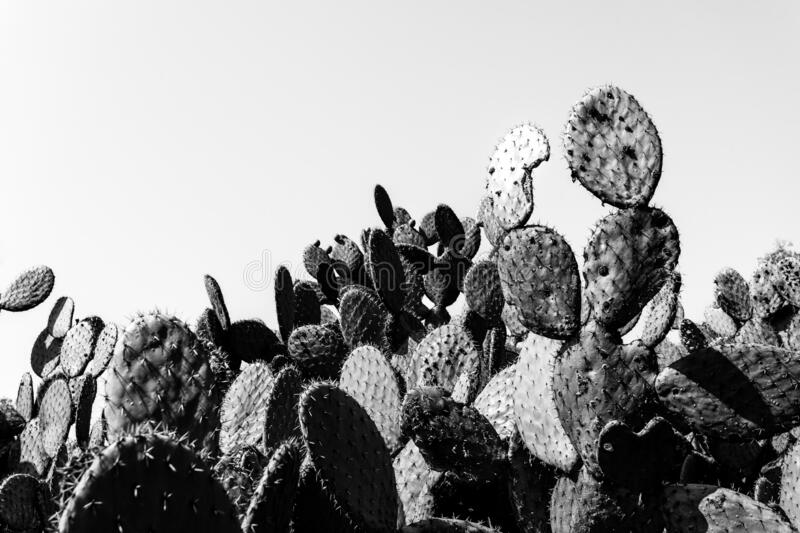 Lots of cacti close-up, black and white color, copy paste, horizontal orientation. royalty free stock photography