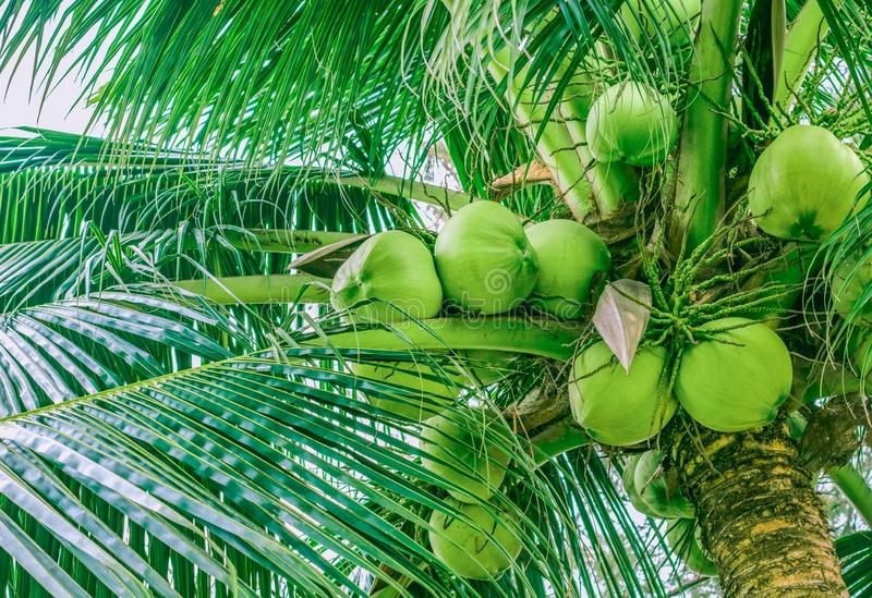 Lots of coconuts on top of a palm tree stock photos