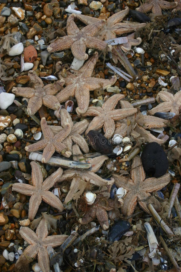 Stranded starfish on beach. Lots of starfish dead on the beach after being stranded during a storm. Background is pebbles and seashells from the beach stock photos