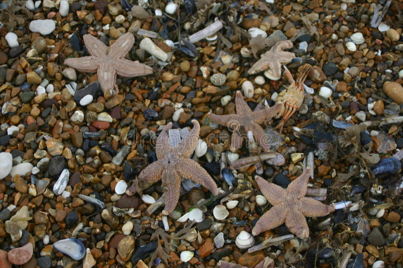 Dead starfish after a storm. Lots of starfish dead on a pebbly beach after being stranded during a storm. Background is pebbles and seashells from the beach stock images