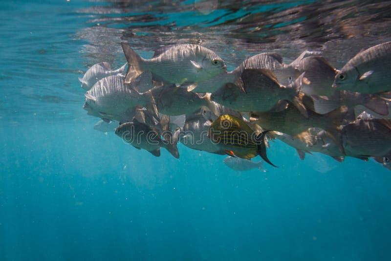 Lots of fish. Lots of grey fish underwater. Indian ocean royalty free stock image