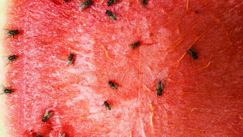 Red of watermelon slice with fly royalty free stock photo