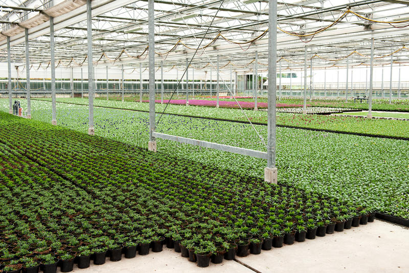 Lots of flower pots in greenhouse. Indoor flower cultivation method - green floor of planting stock greenhouse covered with flower pots stock images