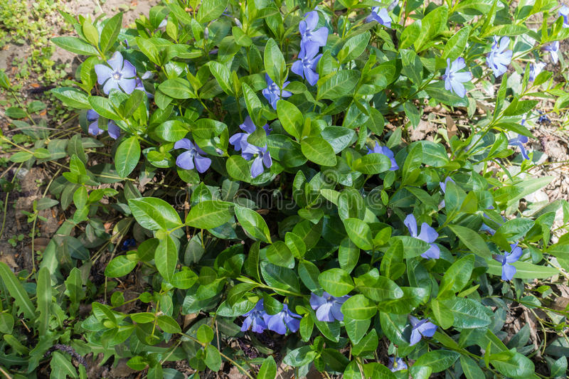Lots of flowers of vinca minor in april. Lots of flowers of vinca minor in spring stock photos