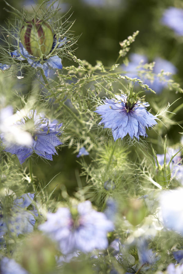 Lots of nigella damascena flowers stock image