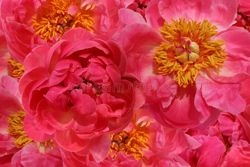 Download Lots of Peonies stock image. Image of decorate, blooming - 5290285