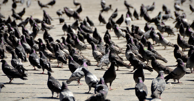 Download Lots Of Pigeons On The City Square Stock Image - Image: 21956687