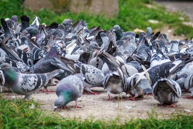 Lots of pigeons stock photo. Image of bread, wildlife - 36562738