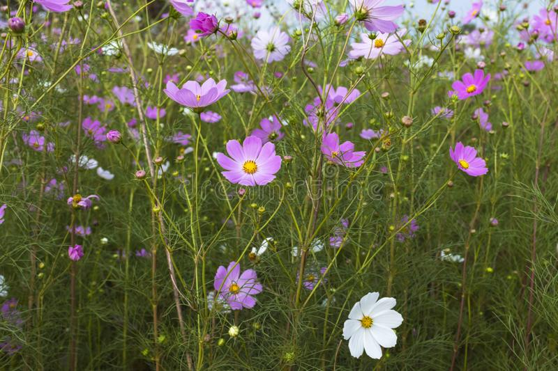 Lots of pink cosmos flowers stock photography